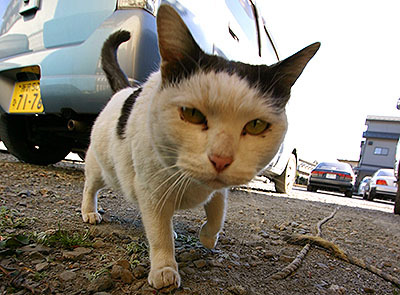 埼玉の野良猫。広角レンズで撮ったら頭がでかく写った。