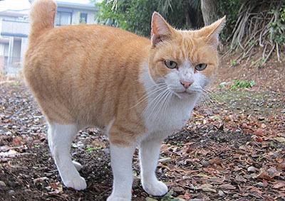 これは川越の猫だまりにいた猫だな。綺麗な茶白だけど目つき悪い。