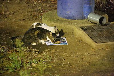 葛西では19時くらいにエサやり人がエサを置いて廻ってるらしく、夕方になると猫が集まる場所がある。