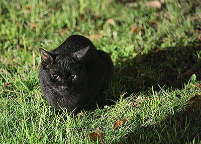 黒猫も瞳がうるんでいるように見えて可愛い。萌えー。