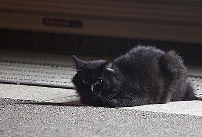 このフサフサの黒猫は臆病で、近づくと速攻で逃げる。望遠でどうにか撮れた。