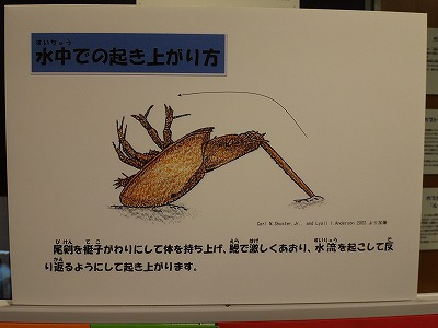 カブトガニ博物館で見た表示