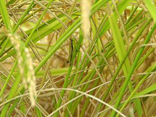 畦を歩くと、イナゴやカエルがすごい数で逃げ出していく。生命が濃い!