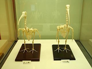骨格標本にもなったキン。そしてミドリ。
