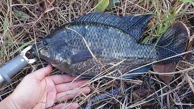 ティラピア。実はおいしい魚で世界中に放流されている。