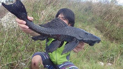 プレコという熱帯魚。持て余した飼い主が捨てたものが大量に野生化している。