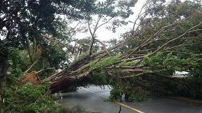 ガジュマルの大木がなぎ倒される。