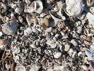 貝殻はこんなにたくさんあるのに。