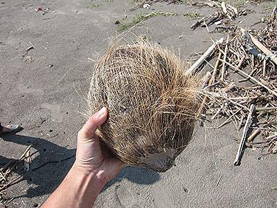 椰子の実が落ちていた。名も知らぬ遠き島より流れて来たのだろうか。
