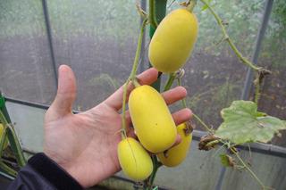 雑草メロンJSD-24。黄色くてうまそう。