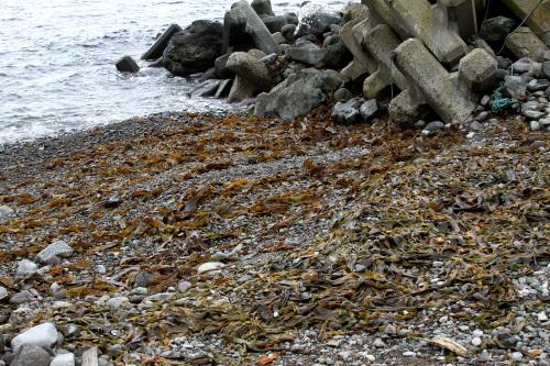 浜に打ち上げられたコンブも多い