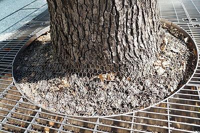 不審者の侵入を予見したのか、街路樹はすでに金網でガードされている