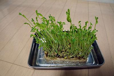 数日後、うまくいったら成長をインターバル撮影しようと思っていた豆苗だけがぐんぐん伸びた…