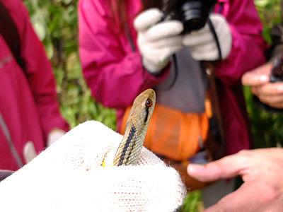 みんなに写真を撮られまくって、まんざらでもない表情のシマヘビ。赤い目がキュート。