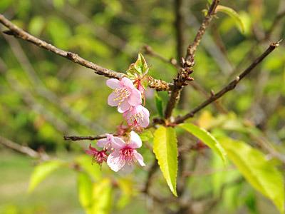 季節外れの桜がきれいでした。