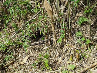 「こういうね、竹藪の穴にマムシがよくいるんだよ。夏はさ、夜に探すのがおもしろいんだ。」