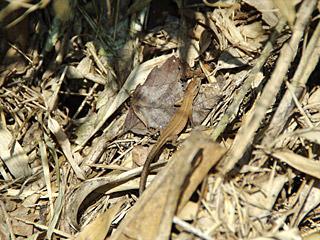 カサカサカサという音のする方をみたがトカゲだった。足のある爬虫類に用はない。