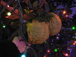こんなに大きな柚子