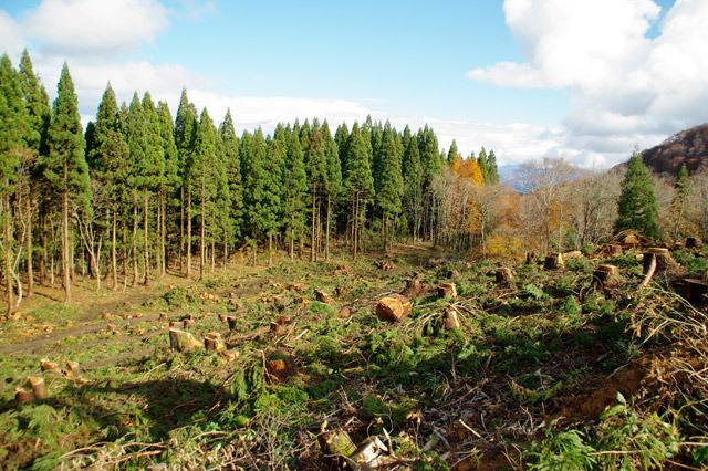 伐採直後の杉林が油絵っぽかった。