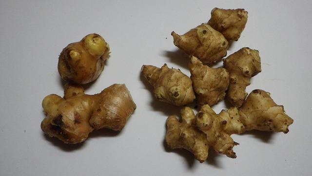 左がショウガ、右が菊芋。