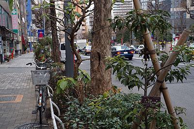 実は写真の左側が園芸店で、街路樹に混じって在庫の木を置いてしまっている。巧妙。