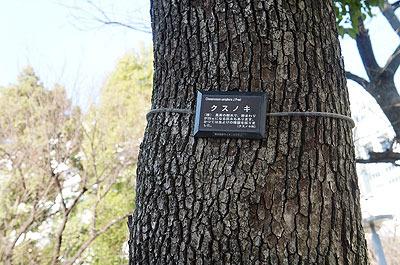 同じクスノキでも街路樹と