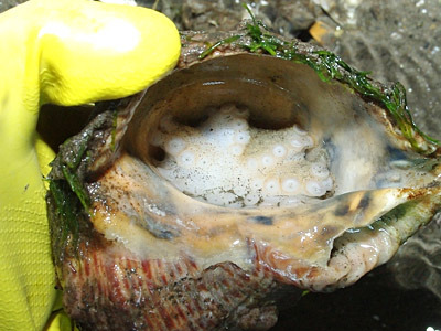 タコが本当に貝に入っていた!