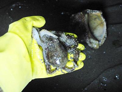 吸盤の力が強くて、貝の中から取り出すのが大変だった。