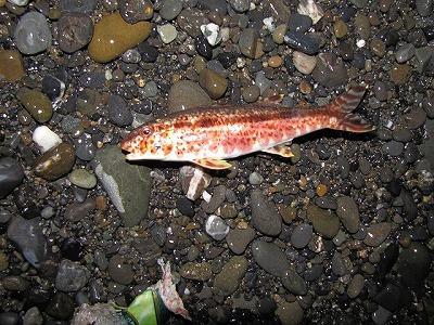 ライトに魚が照らし出されたのでビクッとしたが、これはヒメジという浅場の魚。釣り人の忘れものだろうか。
