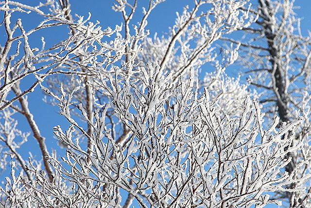 霧氷が木の枝に付いている。朝しか見られない。