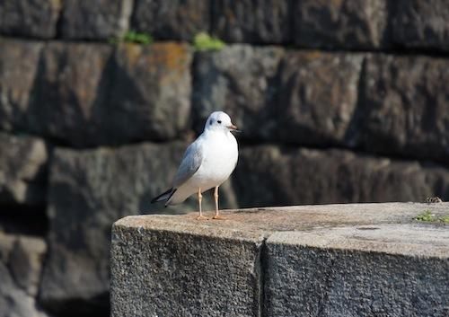 千代田区の領空を侵犯。まあ、都民の鳥でもあるのだけれど。