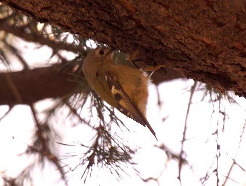 松の枝の間をホバリングするように飛び回る小さな鳥、キクイタダキ。