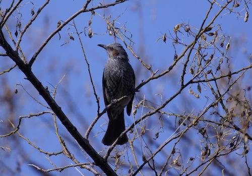 ヒヨヒヨけたたましく鳴くからヒヨドリ。群れで木の実をつついていた。