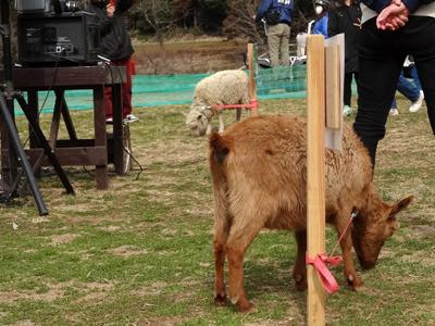 優勝が決まっても青草に夢中のヤギと羊