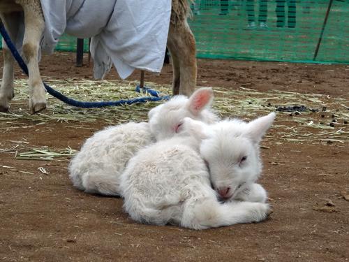生まれて3日の羊。これが