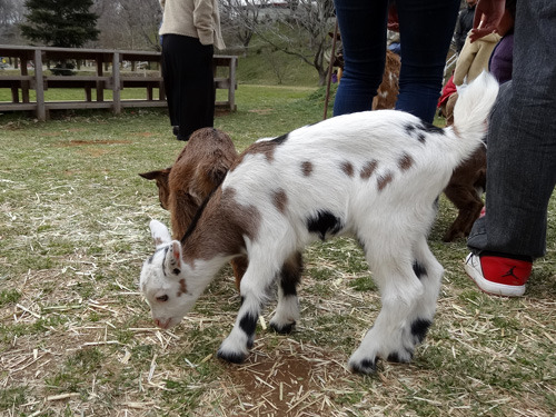 生まれて1週間のヤギ。これが