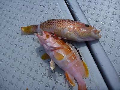 釣れる気配が無いのでコソコソと綺麗な南国系フィッシュに遊んでもらったり。