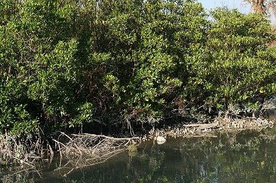 そこでやってきたのは沖縄本島のマングローブ林