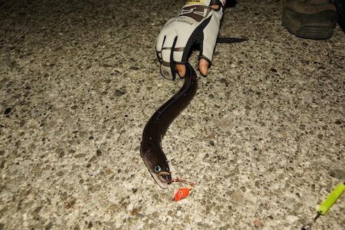 外道でアナゴが釣れた。かっこいい。