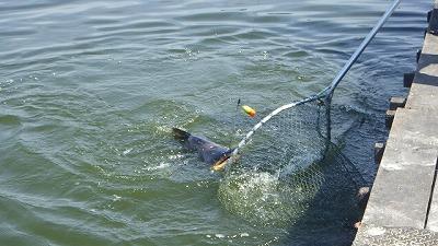 大きな頭が水面を割る。魚もでかいがそれを掬うタモ網もでかい。