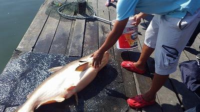 釣り上げた魚は水で冷やしたゴムマットの上にしか置いてはいけない。