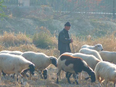 こちらはトルコの羊飼い