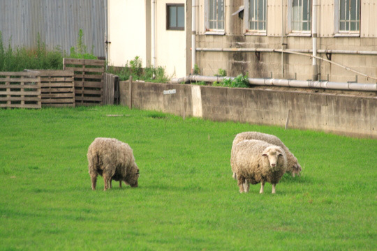 ヤギはマスコット的に飼ったりする場合もあるが、羊を集団で飼うのはすごい (写真はポタフォトさんから サイトはこちら)