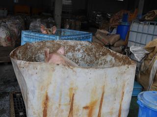 まさか豚を見るとは
