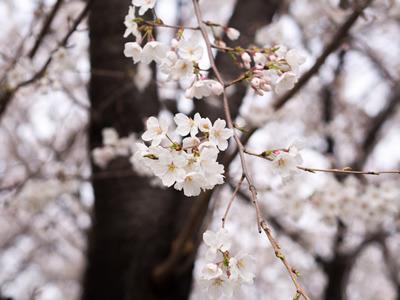 桜はイメージです