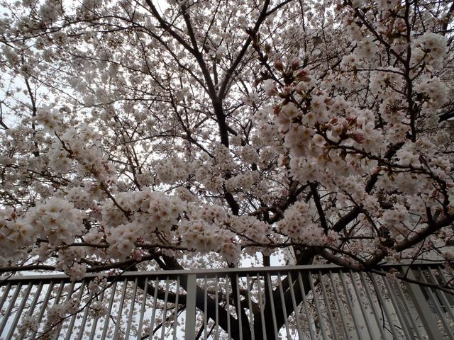 桜、カメラ目線。