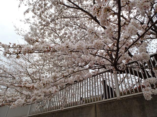 川沿いの遊歩道に植えられた桜なのだが、完全に通行人を無視して私を見ている。ような気がする。