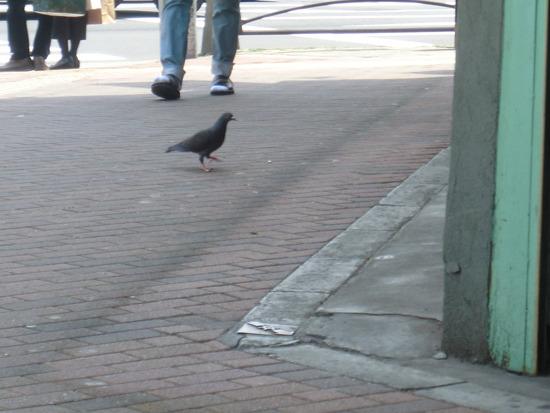なかには徒歩で来店する鳩もいる
