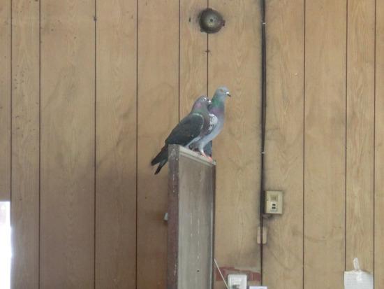 一方、ハト目もはばからずイチャイチャする鳩カップル