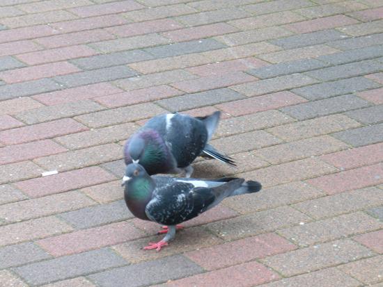 足元ではオスのハトがメスを追っかけまわしていた